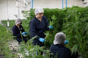 Em breve você será um usuário de Cannabis