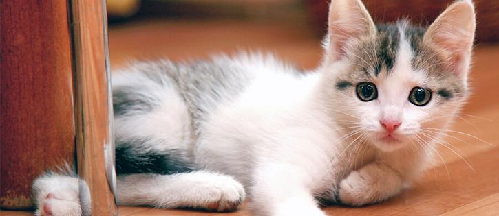 gatos domésticos