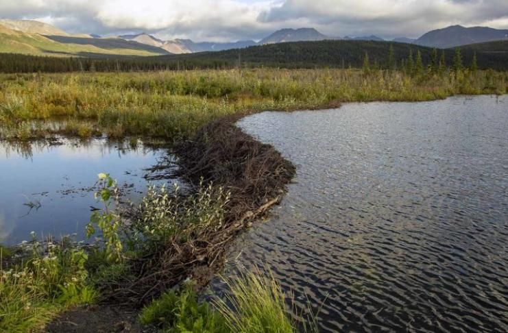 A conexão incomum entre castores, pergelissolo e mudança climática