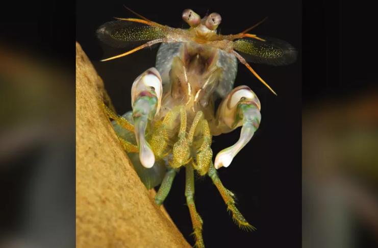 Camarão mantis golpeia e pega rivais menores para roubar suas casas